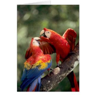 Cartão Amazon, Brasil. Pares de escarlate dos Macaws (Ara