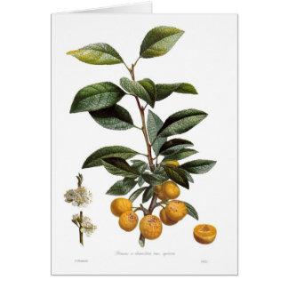 Cartão Ameixa do mirabelle (syriaca das variedades do