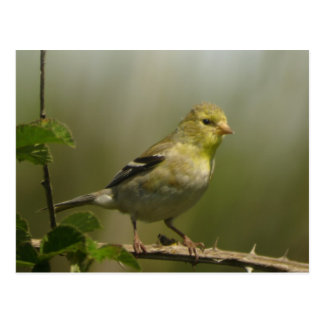 Cartão americano do Goldfinch