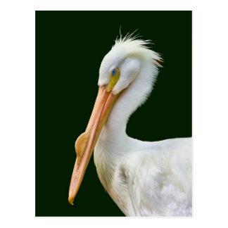 Cartão americano do pássaro do pelicano branco