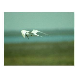 Cartão - andorinha-do-mar em vôo