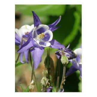Cartão aquilégia das plantas