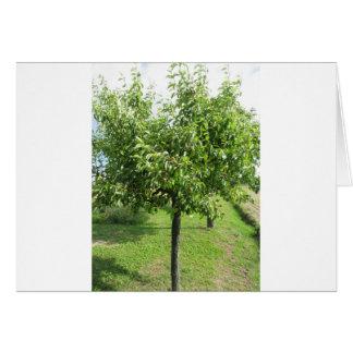 Cartão Árvore de pera com folhas do verde e frutas