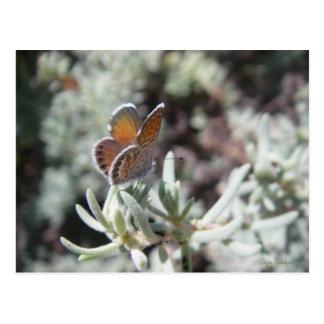 Cartão azul da borboleta do pigmeu ocidental