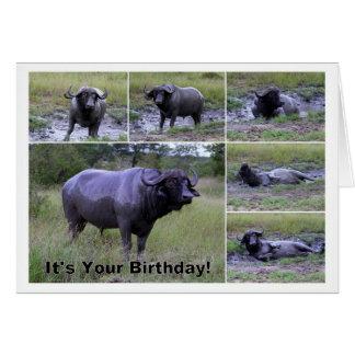 Cartão Banho de lama do búfalo do cabo do feliz