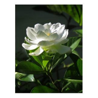 Cartão branco 2 da flor do Gardenia