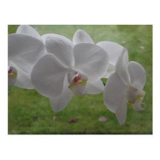 Cartão branco da orquídea