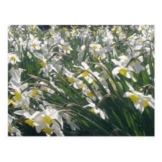 Cartão branco dos Daffodils