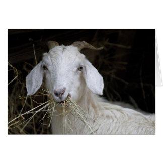 Cartão Cabra branca - fotografia animal bonito