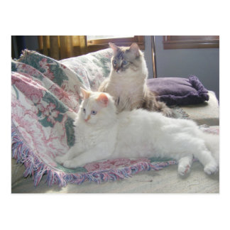 Cartão calmo dos gatinhos