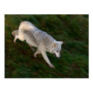 Cartão canadense do lobo de madeira