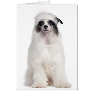 Cartão Cão com crista chinês (7 meses velho)