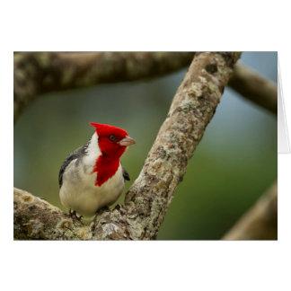 Cartão Cardeal com crista vermelho