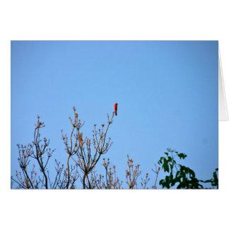 Cartão cardinal brilhante