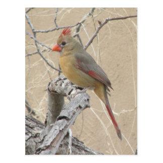 Cartão cardinal do norte fêmea