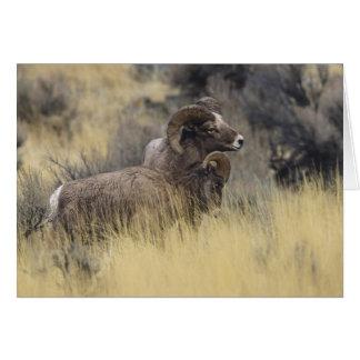 Cartão Carneiros do Big Horn, Wyoming