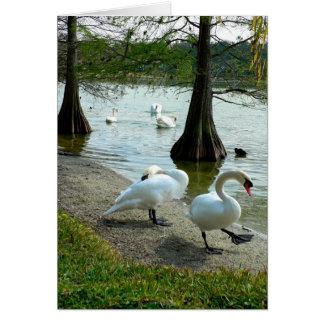 Cartão Cisnes de Lakeland