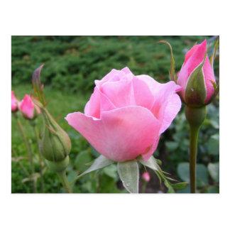 Cartão com os rosas cor-de-rosa bonitos