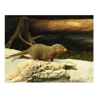 Cartão comum do mangusto do anão