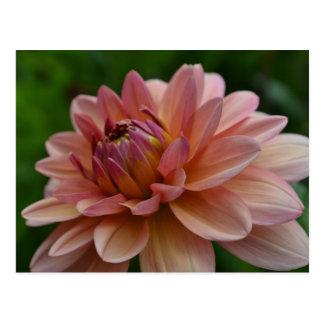 Cartão cor-de-rosa da flor da dália