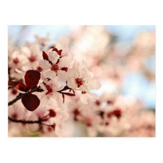 Cartão cor-de-rosa da flor de cerejeira cartão postal