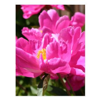 Cartão cor-de-rosa da peônia