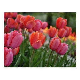 Cartão cor-de-rosa da tulipa