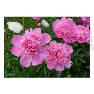 Cartão cor-de-rosa das peônias