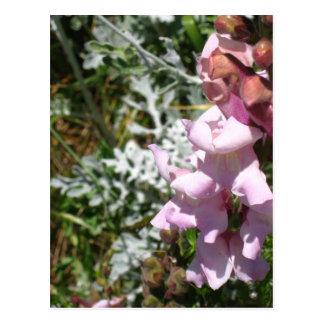 Cartão cor-de-rosa de Snapdragons