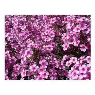 Cartão cor-de-rosa do Phlox