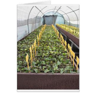 Cartão Cultivo da estufa da flor do japonica da camélia