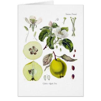 Cartão Cydonia vulgar (marmelo)