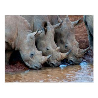 Cartão da água potável dos Rhinos
