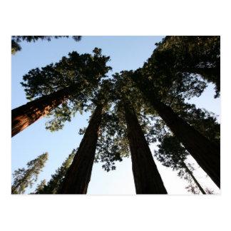 Cartão da árvore da sequóia vermelha de Califórnia