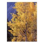 Cartão da árvore do álamo tremedor da queda cartão postal