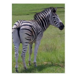 Cartão da atitude da zebra