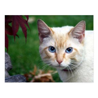 Cartão da cara do gato Siamese