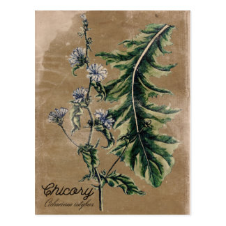 Cartão da erva da chicória do estilo do vintage