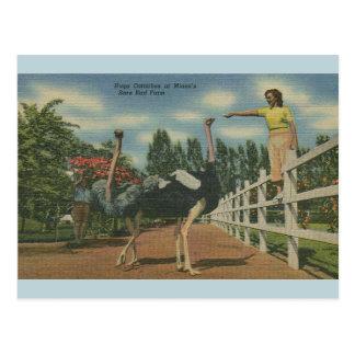 Cartão da fazenda do pássaro raro da avestruz de