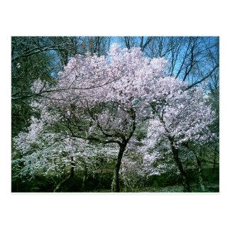 Cartão da flor de cerejeira