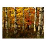 Cartão da floresta do vidoeiro cartão postal
