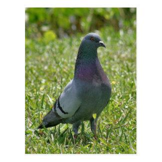 Cartão da foto do pombo de rocha cartao postal