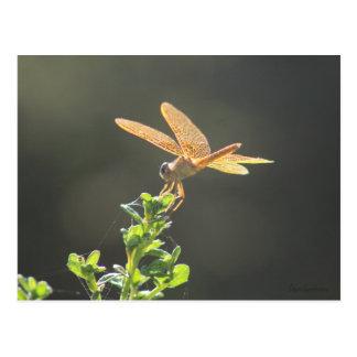 Cartão da libélula de Amberwing do mexicano