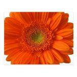 Cartão da margarida alaranjada cartao postal