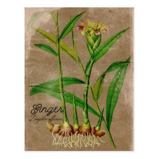 Cartão da planta da raiz do gengibre do estilo do