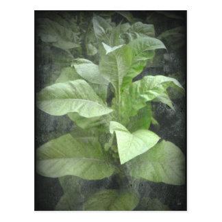 Cartão da planta de tabaco