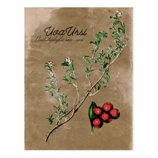 Cartão da planta de Uva Ursi do estilo do vintage