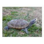 cartão da tartaruga da tartaruga de água doce de D Cartão Postal