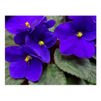 Cartão da violeta africana