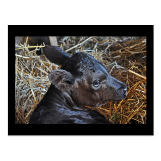 Cartão da vitela na palha